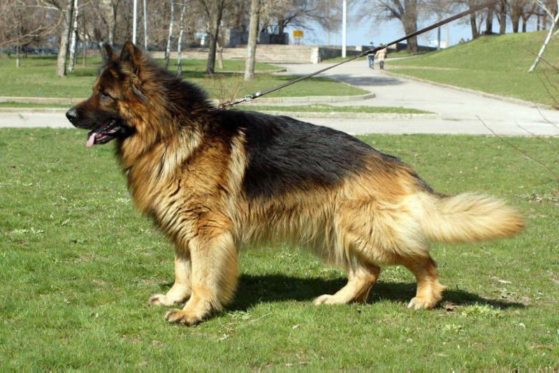 Double Coat German Shepherd