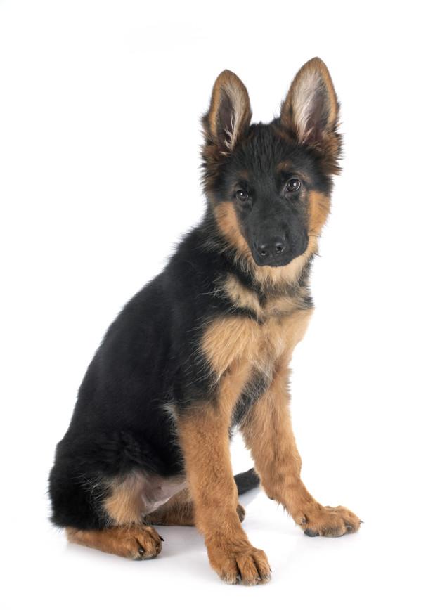 Puppy German Shepherd Socialization Period