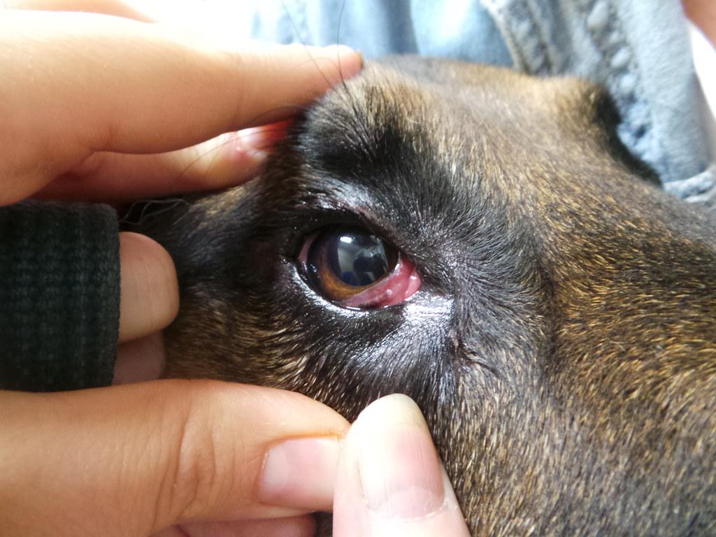 Dry Eye in German Shepherd