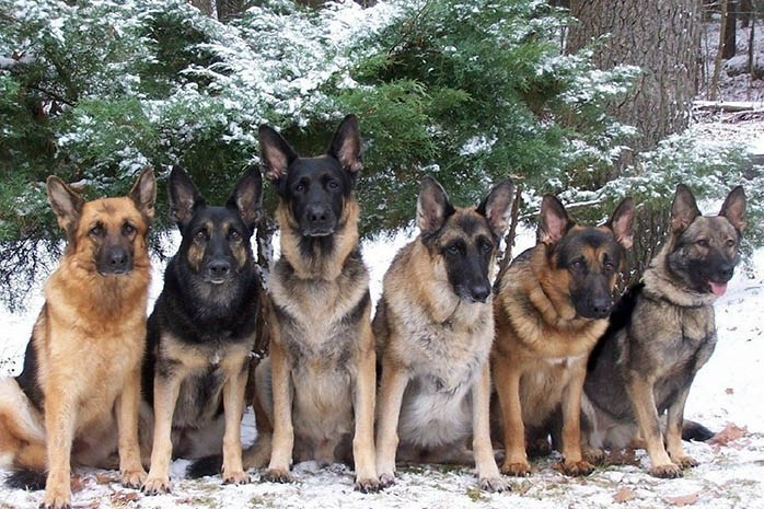 colors of German Shepherd Dogs