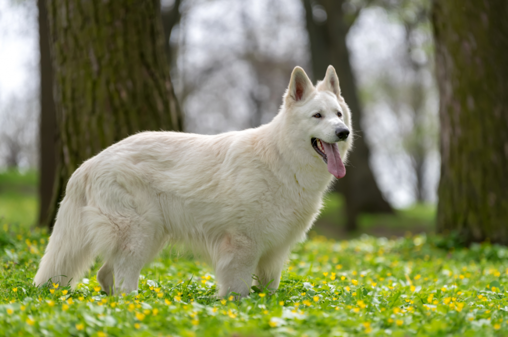 White German Shepherd Physical Features