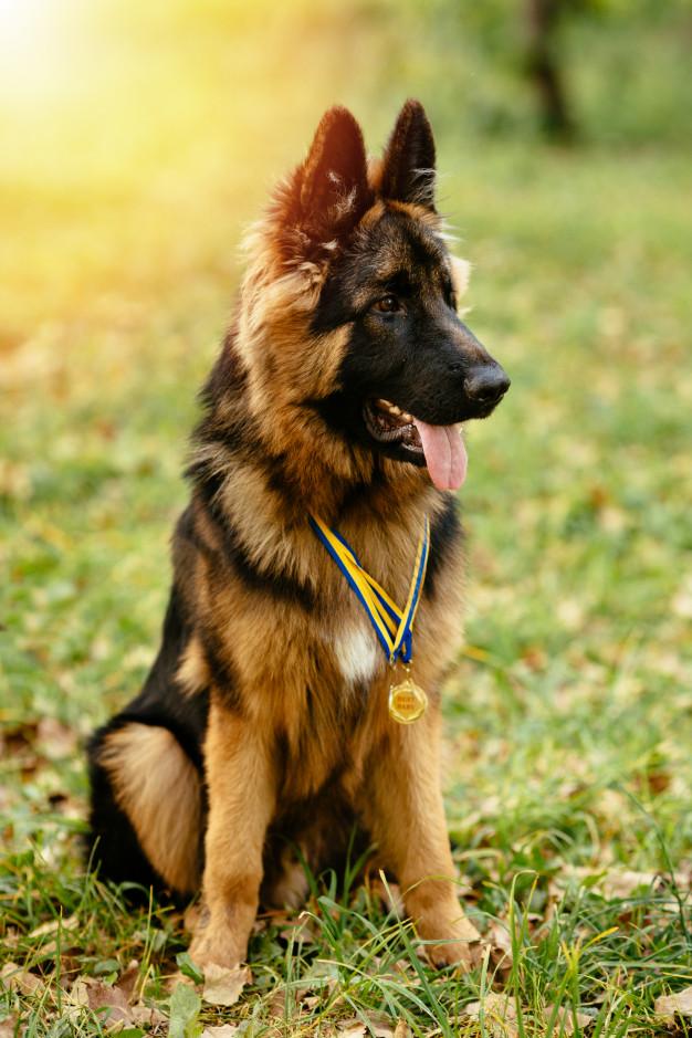 ACTIVE GERMAN SHEPHERD DOG