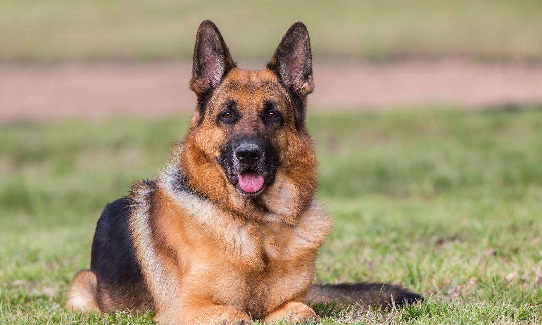 corona virus in dogs