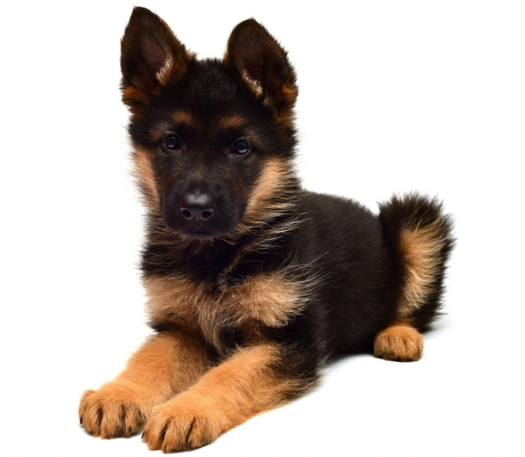 A German Shepherd with dwarfism can look like this their whole life