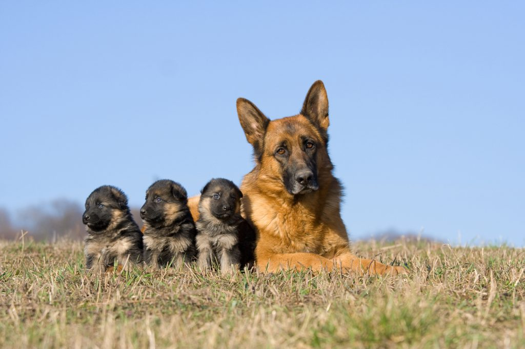 Full-grown German Shepherd with puppies