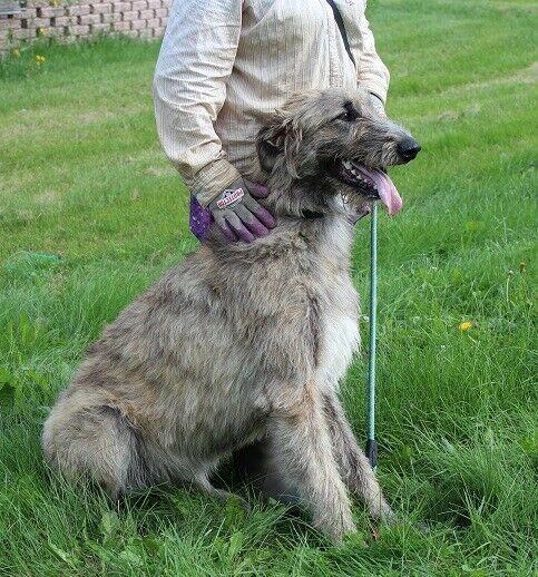 Irish WolfHound vs German shepherd Mix