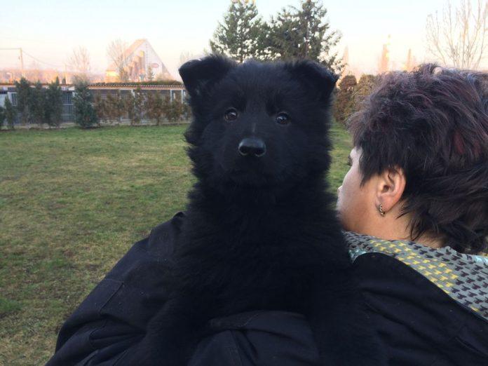 solid black czech german shepherd