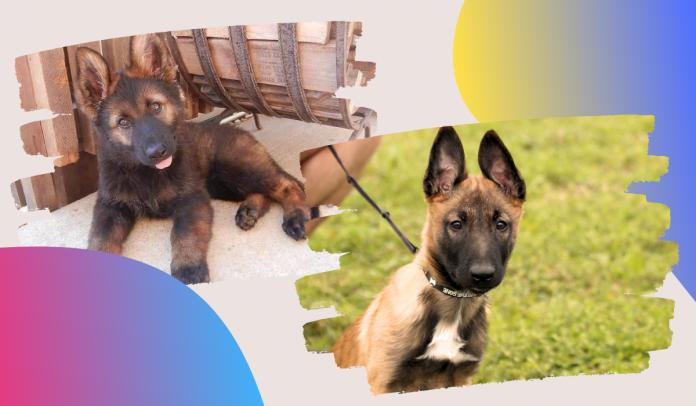 Sable German Shepherd Puppy