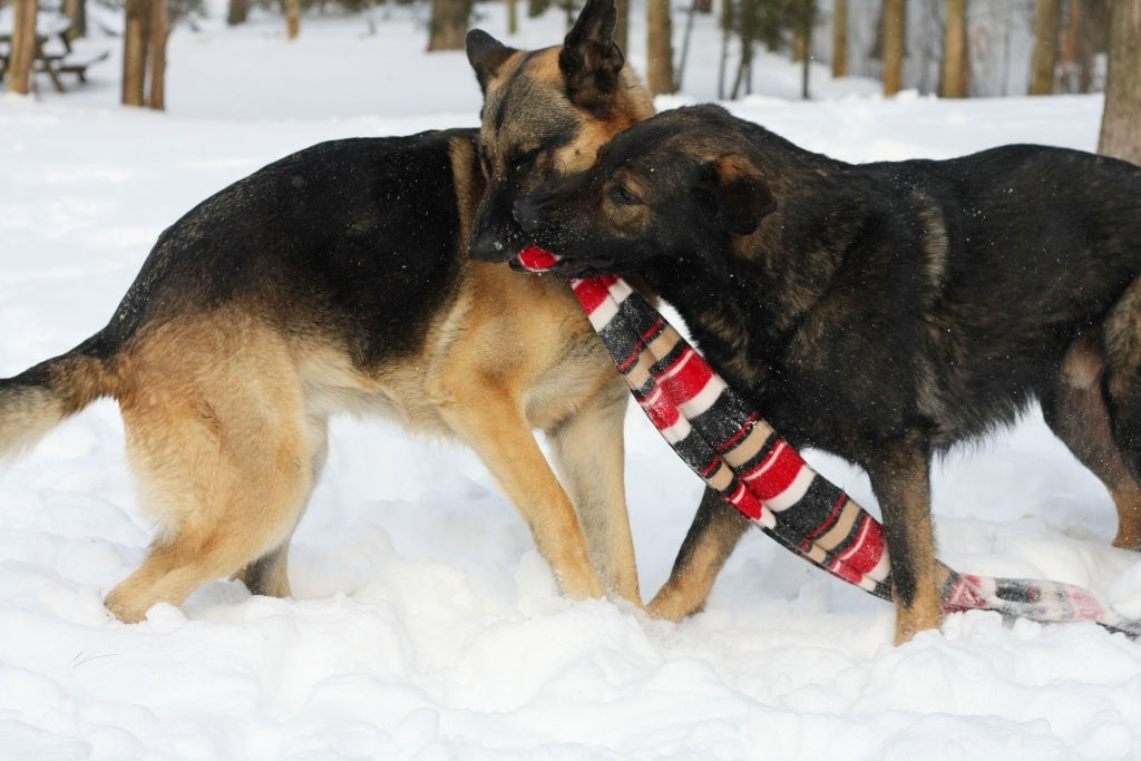 German shepherd with other dogs