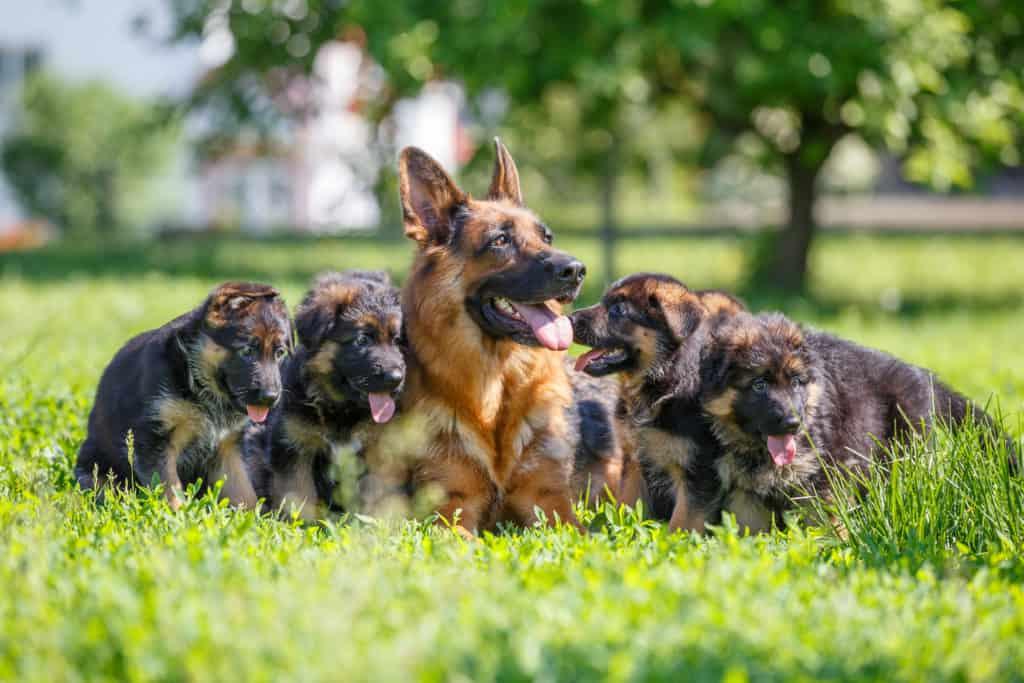 german shepherd puppy care