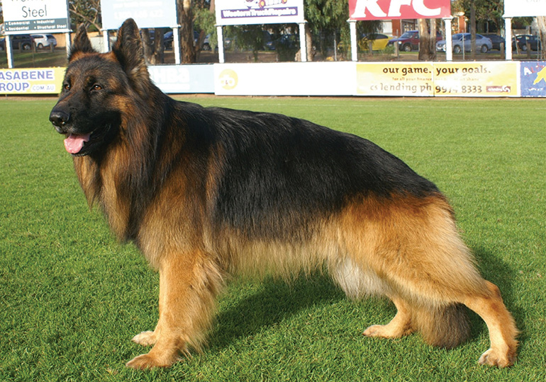 Pure Breed German Shepherd cost