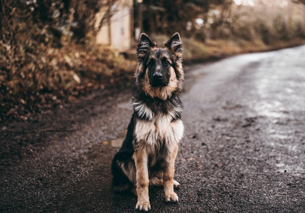 German shepherd weight
