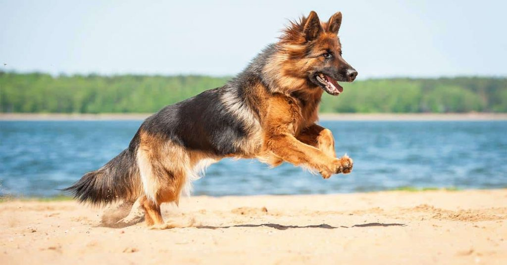 German shepherd Exercise